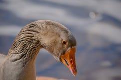 Cara del pato Imagenes de archivo