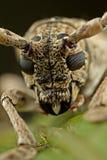 Cara del pequeño escarabajo Largo-de cuernos Fotos de archivo