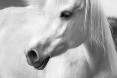 Cara del perfil de un caballo blanco Fotos de archivo libres de regalías