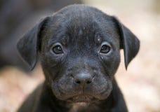 Cara del perrito de Pitbull imagenes de archivo
