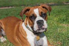 Cara del perrito del boxeador Foto de archivo
