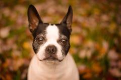 Cara del perrito del envejecimiento Fotografía de archivo