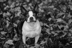 Cara del perrito del envejecimiento Imagen de archivo