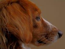 Cara del perro Foto de archivo libre de regalías