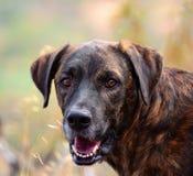 Cara del perro de las islas Canarias Fotos de archivo