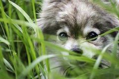 Cara del perro de Pomerania alemán en la hierba foto de archivo