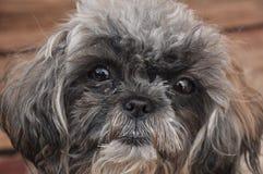 Cara del perro (tzu del shih) Imagenes de archivo