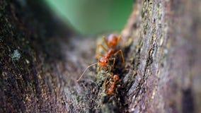 Cara del primer de la hormiga en los árboles imagenes de archivo