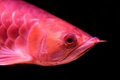 Cara del primer de un pescado rojo de oro de la cola o de los pescados del arowana aislados en fondo horizontal del negro de la v foto de archivo libre de regalías