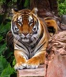 Cara del primer del tigre encendido Fotografía de archivo libre de regalías