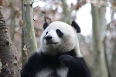 Cara del ` s de la panda del primer, Chengdu, China Fotos de archivo