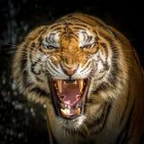 Cara del ` s del tigre Imagenes de archivo