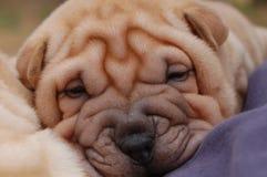 Cara del sharpei del perrito Imagenes de archivo