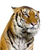 Cara del tigre Imagen de archivo libre de regalías