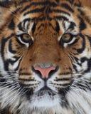 Cara del tigre Foto de archivo