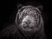 Cara del tigre blanco siberiano Imagen de archivo