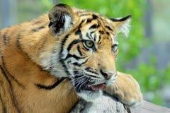 Cara del tigre de Bengala Foto de archivo libre de regalías