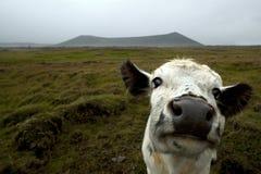Cara divertida de la vaca Foto de archivo libre de regalías