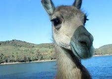 Cara divertida del burro Fotografía de archivo