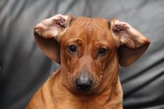 Cara divertida del perro basset Imagen de archivo libre de regalías