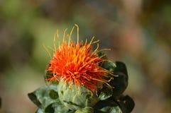 Cara divertida en un flor del alazor foto de archivo