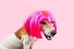 Cara divertida repugnante decepcionada enojada del perro Peluca rosada fotos de archivo libres de regalías