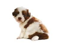 Cara do assento e da observação adoráveis do cão da pedigree do tzu do shih do bebê Imagem de Stock Royalty Free