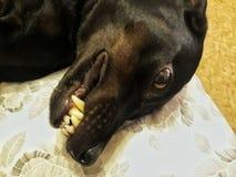 Cara do cão foto de stock royalty free