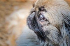 Cara do cão do pequinês ou do leão Fotografia de Stock Royalty Free