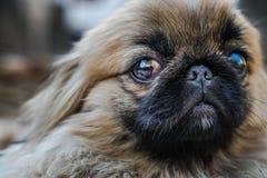 Cara do cão do pequinês ou do leão Imagem de Stock Royalty Free