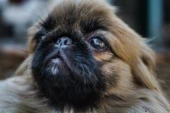 Cara do cão do pequinês ou do leão Imagens de Stock
