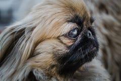 Cara do cão do pequinês ou do leão Imagem de Stock