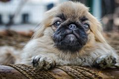 Cara do cão do pequinês ou do leão Fotos de Stock Royalty Free