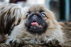 Cara do cão do pequinês ou do leão Imagens de Stock Royalty Free