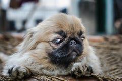 Cara do cão do pequinês ou do leão Foto de Stock Royalty Free