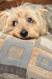 Cara do cachorrinho foto de stock royalty free