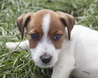 Cara do cachorrinho de Jack Russell Fotografia de Stock Royalty Free