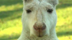 Cara do canguru do albino video estoque