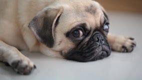 Cara do close-up do cão bonito do pug video estoque