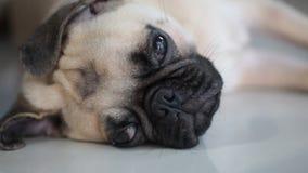 Cara do close-up do cão bonito do pug vídeos de arquivo