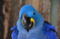 Cara do close up de Hyacinth Macaw azul Fotografia de Stock