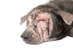Cara do close up do problema de pele doente da lepra do cão com backgro branco Fotos de Stock