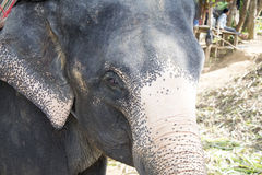 Cara do elefante Fotografia de Stock