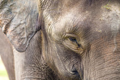Cara do elefante Fotos de Stock Royalty Free