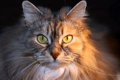 Cara do gato Imagens de Stock Royalty Free