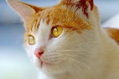 Cara do gato no de perto Imagem de Stock Royalty Free