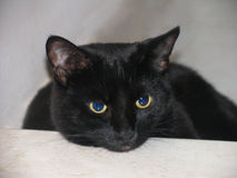 Cara do gato preto no fundo bege Imagem de Stock Royalty Free