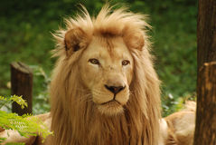 Cara do leão Imagem de Stock
