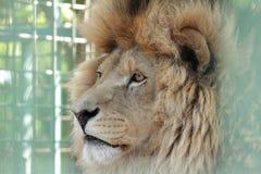 Cara do leão Fotografia de Stock Royalty Free