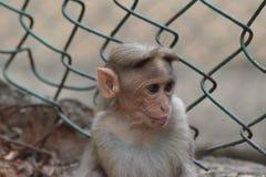 Cara do macaco inocente do bebê Fotos de Stock